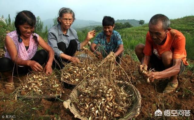 农村常见的野蕌子怎么做好吃,有哪些功效和作用?