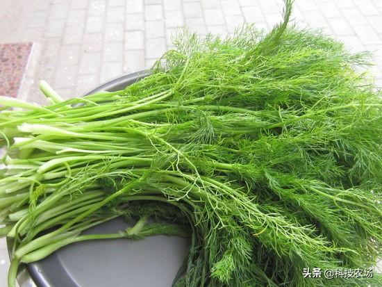 小茴香如何种植才能提高产量?