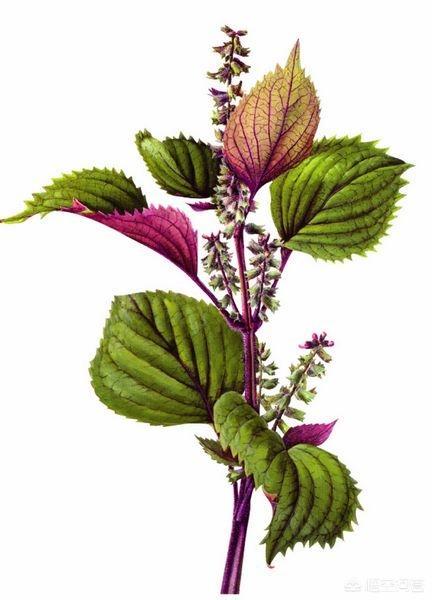紫苏煮水喝有什么作用?