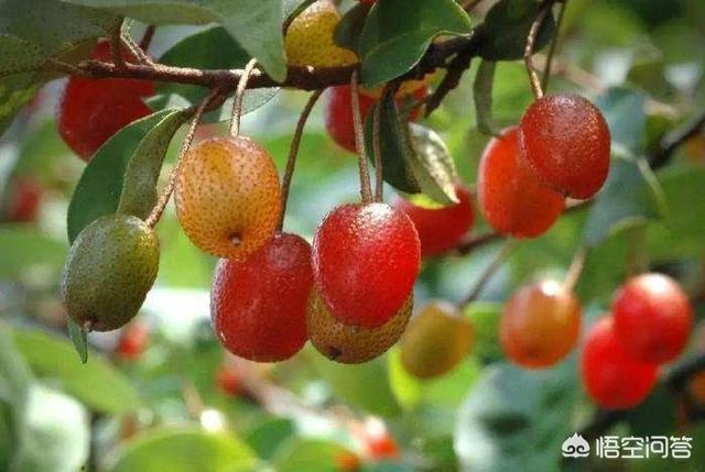 """农村人俗称""""羊奶果""""的植物有何作用贵州草药骚羊古功效?"""