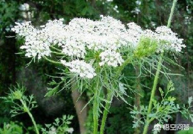 """有的农村常见的""""野胡萝卜根""""有什么功效和作用红蓝草药有什么功效?"""
