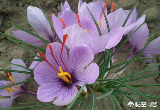 藏红花的功效是什么?哪些人适合吃?