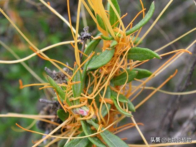 种植大豆、花生、艾草等作物时,老是有菟丝子缠绕,该怎样有效去除?