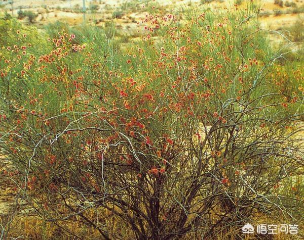 日本虎杖适合种在沙漠里吗中药虎杖的图片?