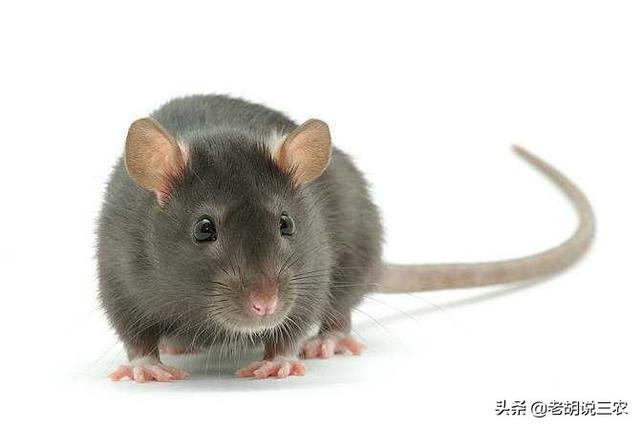 有人说开发鼠类资源前景广阔老鼠胆的功效,这是不是真的?老鼠究竟有什么用?