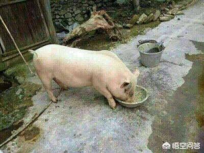 在农村生活过的,你们以前用什么猪草喂猪的?