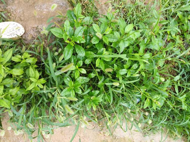 野菜种植:适合人工种植的野菜有哪些云香草图片大全?