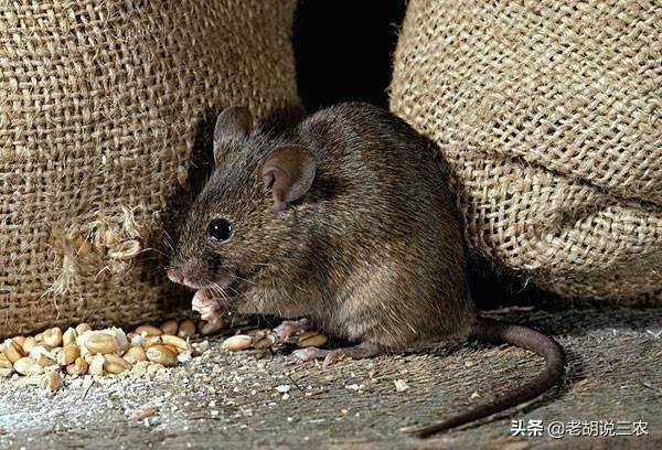 有人说开发鼠类资源前景广阔,这是不是真的?老鼠究竟有什么用?
