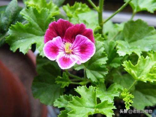 天竺葵那么多品种云香草图片大全,都有什么区别?