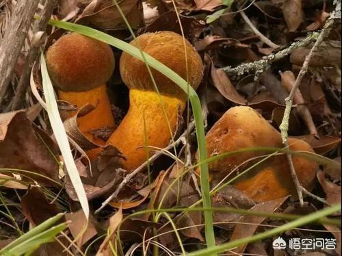 云南农村山区出很多野生菌云香草图片大全,请来分享下你认识哪些品种?哪个月份开始捡菌子?