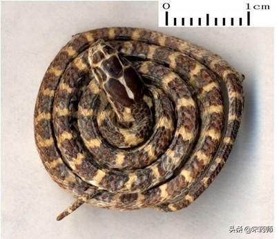中药有什么药材令人作呕白花蛇中药图片?