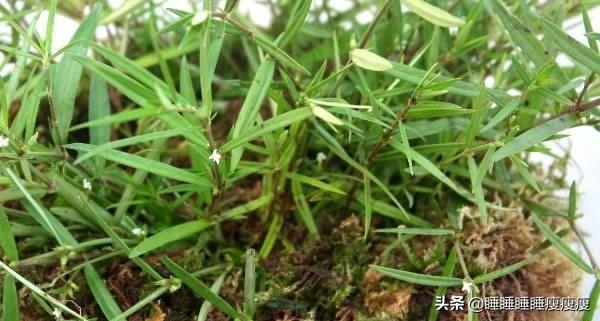 白花蛇舌草长什么样图片?