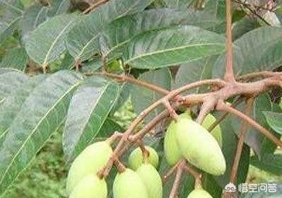 """蜈蚣藤的功效,农村常见的名为""""上树蜈蚣""""的植物在哪里寻找?这个植物有什么作用?"""
