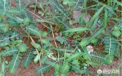 肺经草的功效与作用,农村常见的珍珠草有什么作用?