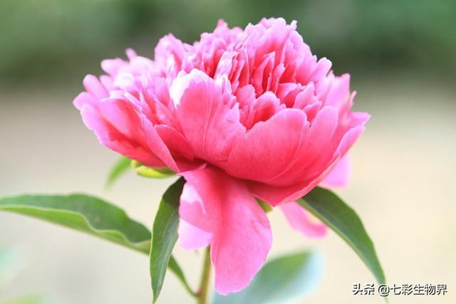 中药勺药的图片大全,家里花盆里、门前地里都栽有芍药,家里到底能不能养芍药花?