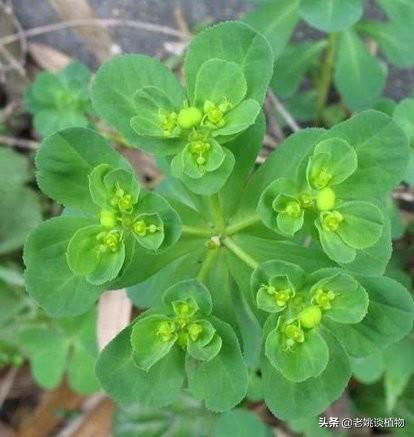 泽漆图片,请问这是一种什么植物,院子里最近长了很多这种植物?