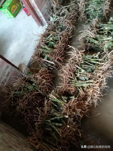 通草的种植前景如何中药材小通草的功效与作用?亩产多少?