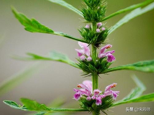 益母草是一种非常好的一种草药药草图片及名称,你知道它对身体有哪些作用吗?