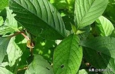 怀牛膝怎样种植中药怀牛膝图片?有哪些病虫害?