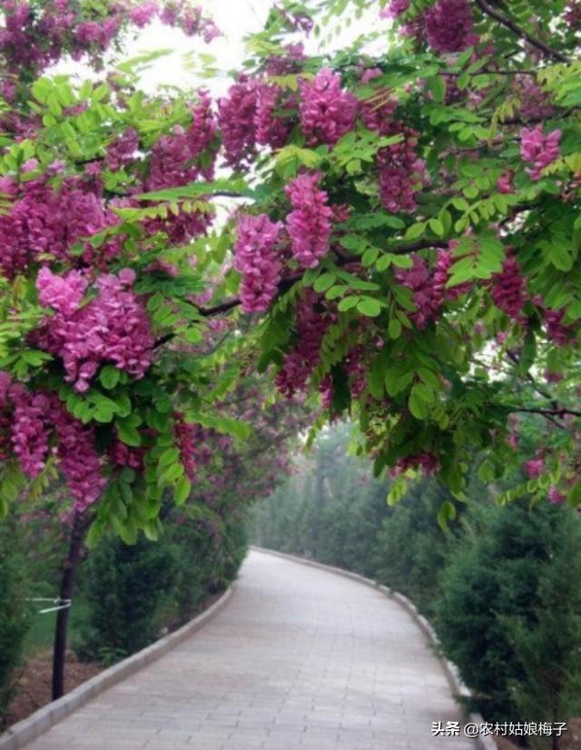 药材花朵作用,槐花也可以做药材吗?有什么功效?
