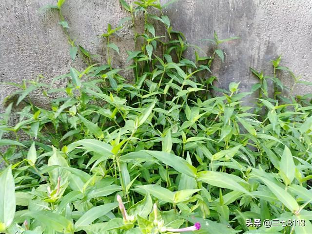 野生黄姜图片欣赏,农村有那么多的野生中药,为什么却没有人去采摘?