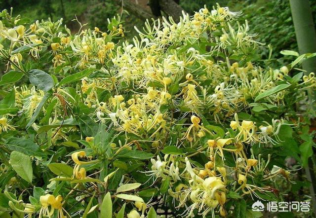 金银花哪个品种好金银花的功效与作用图?