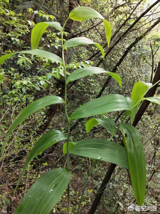 天竹的功效与作用,黄精如何种植,它有什么功效?