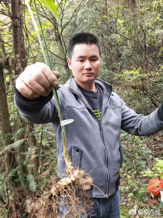 黄精如何种植天竹的功效与作用,它有什么功效?