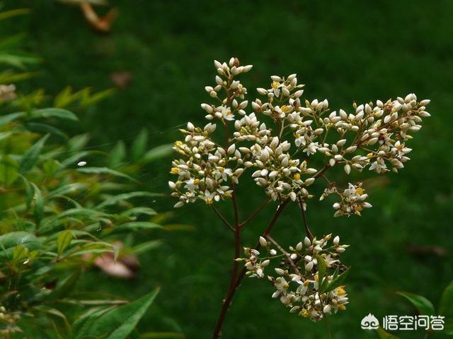 农村野外常见的南天竹有什么用处天竹的功效与作用?