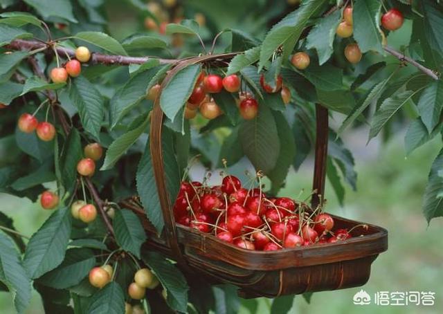 最近头条出现很多樱桃滞销的视频樱桃视频,作为最受欢迎的当季水果,是什么原因造成的?