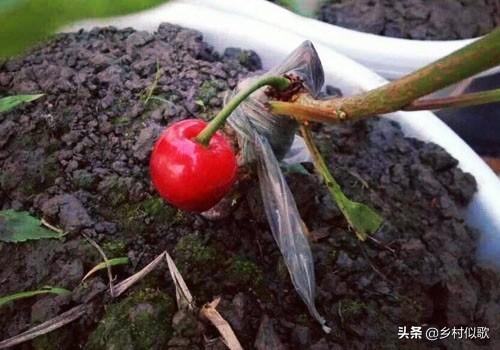怎样培养大樱桃新品种樱空桃?