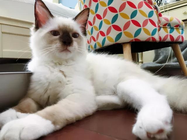 干性猫传腹早期症状,干性传腹症状