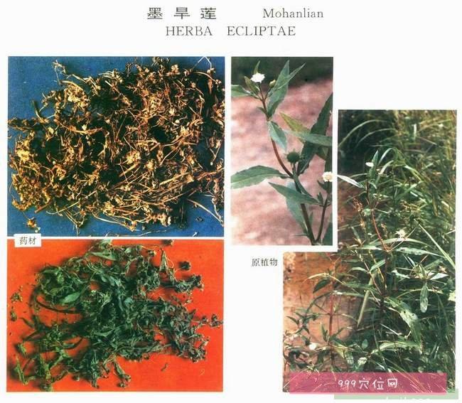 旱莲草临床功效与作用,旱莲草墨旱莲