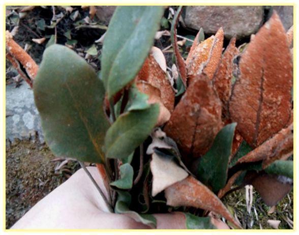 中药石伟图片,石苇草中草药功效与作用
