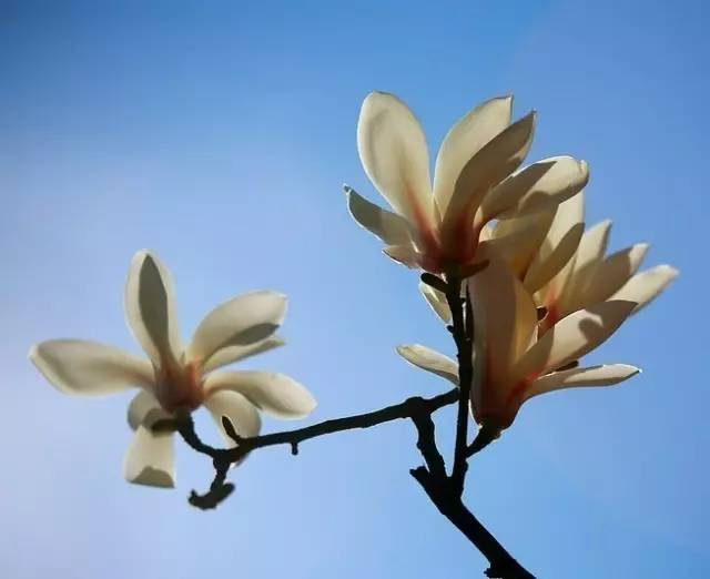 辛荑花的临床应用,辛荑花治疗各种鼻炎