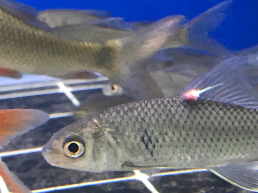 金鱼生寄生虫的症状,鱼鳃寄生虫图片欣赏