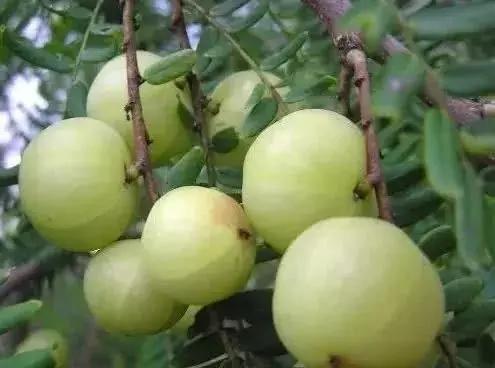 紫黄泡果的功效,黄泡树根有什么功效