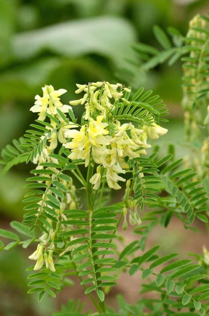 黄芪的功效与临床应用,黄芪的副作用