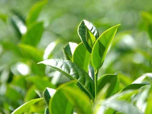 中药茶树跟功效与作用,茶树根中药大全