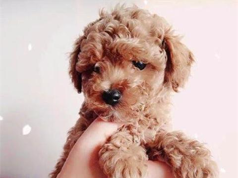 小狗泰迪肠胃炎有什么症状是什么,泰迪狗感冒有哪些症状