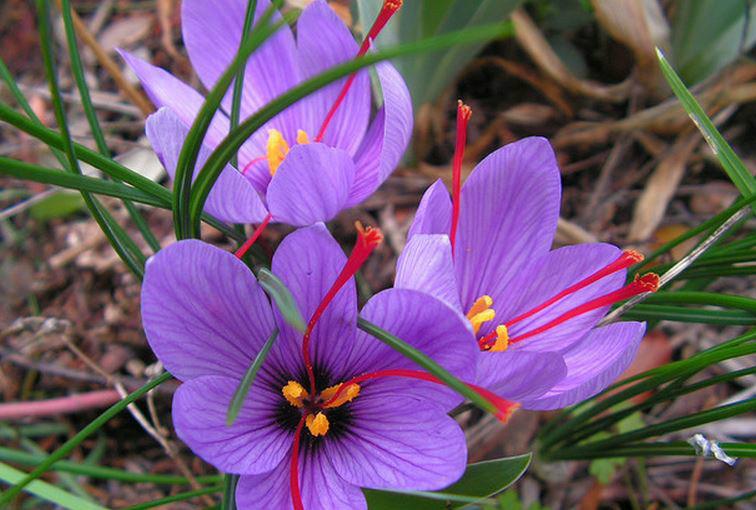 紫色的草药图片及名称,在北京哪能买到紫根草