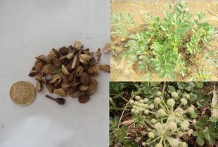 中药沙参的图片,北沙参种植