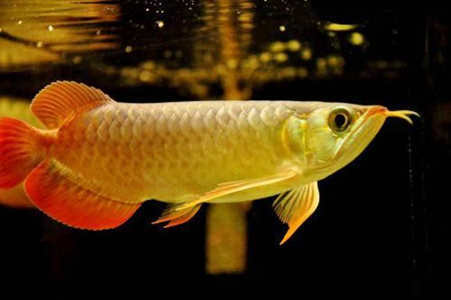 金龙鱼知识讲解,金龙鱼好吃吗